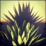 shadow succulent
